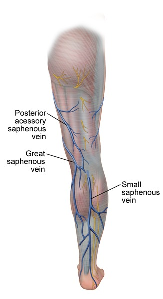 great-saphenous-vein-Leg-Posterior-MVC